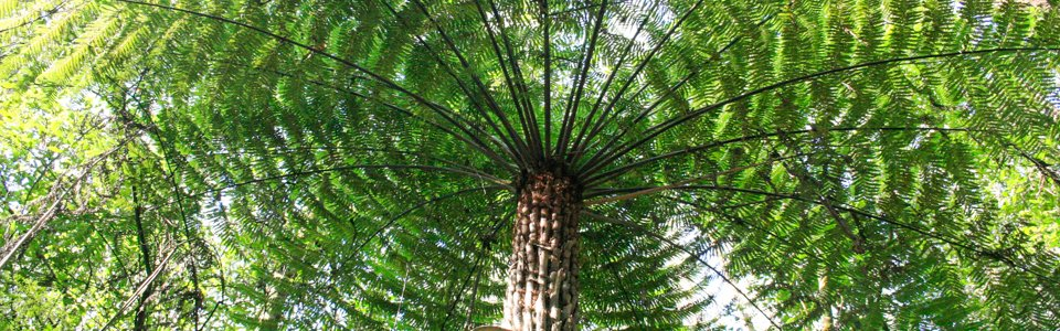 Tree Fern in Toolangi State Forest
